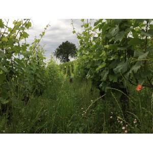 Un rang de chardonnay et le chêne du domaine, une tour de contrôle que se disputent milans et passeraux.
